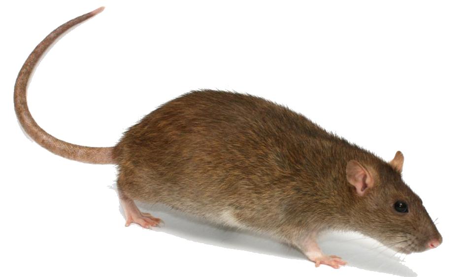 Rat PNG - 17981
