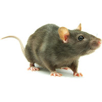 Similar Rat PNG Image - Rat PNG