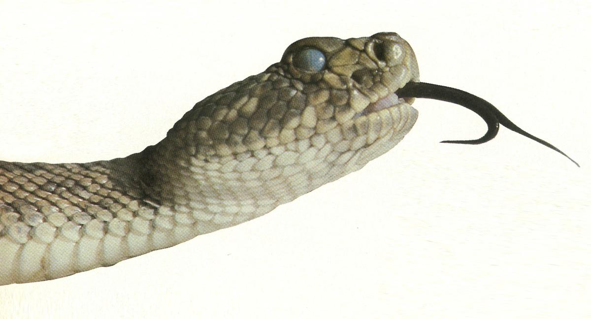 Rattlesnake PNG - 19724