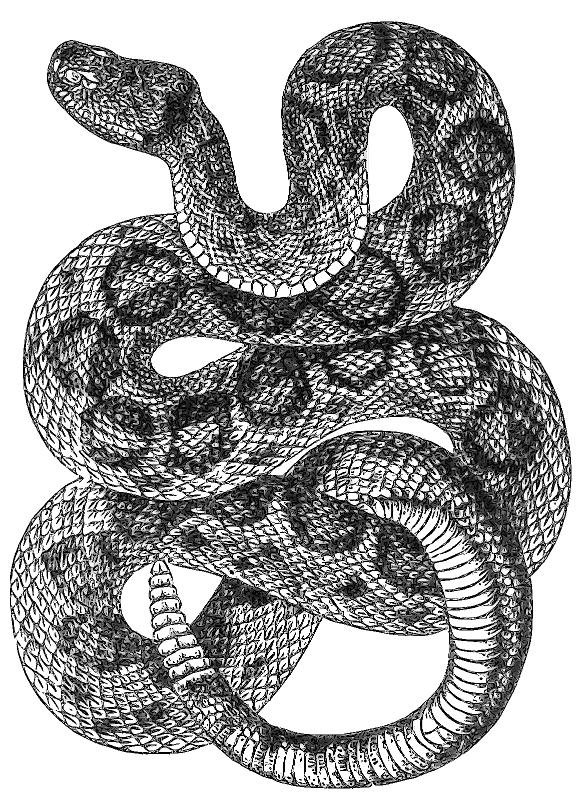 Rattlesnake PNG - 19729
