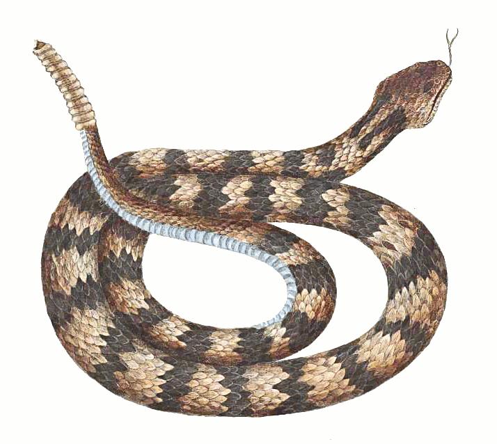 Rattlesnake PNG - 19716