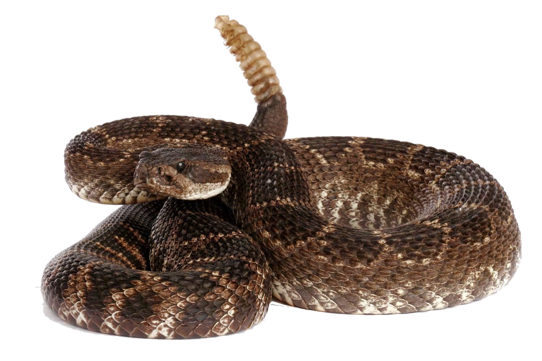 Rattlesnake PNG - 19708