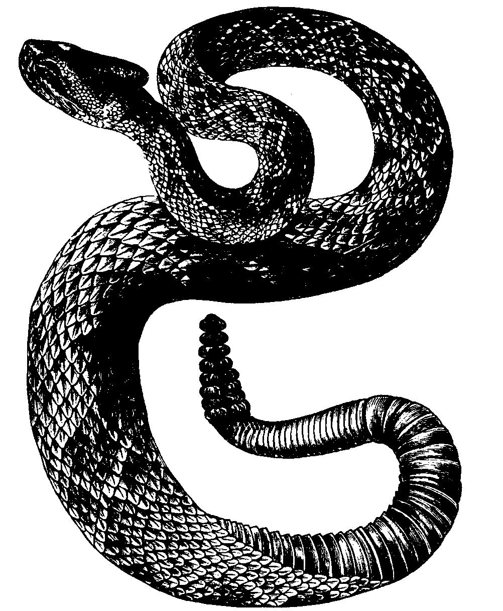 Rattlesnake PNG - 19725