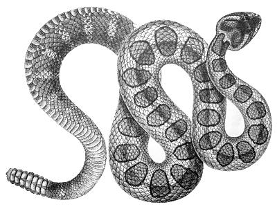 Rattlesnake PNG - 19719