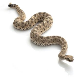 Rattlesnake PNG - 19731