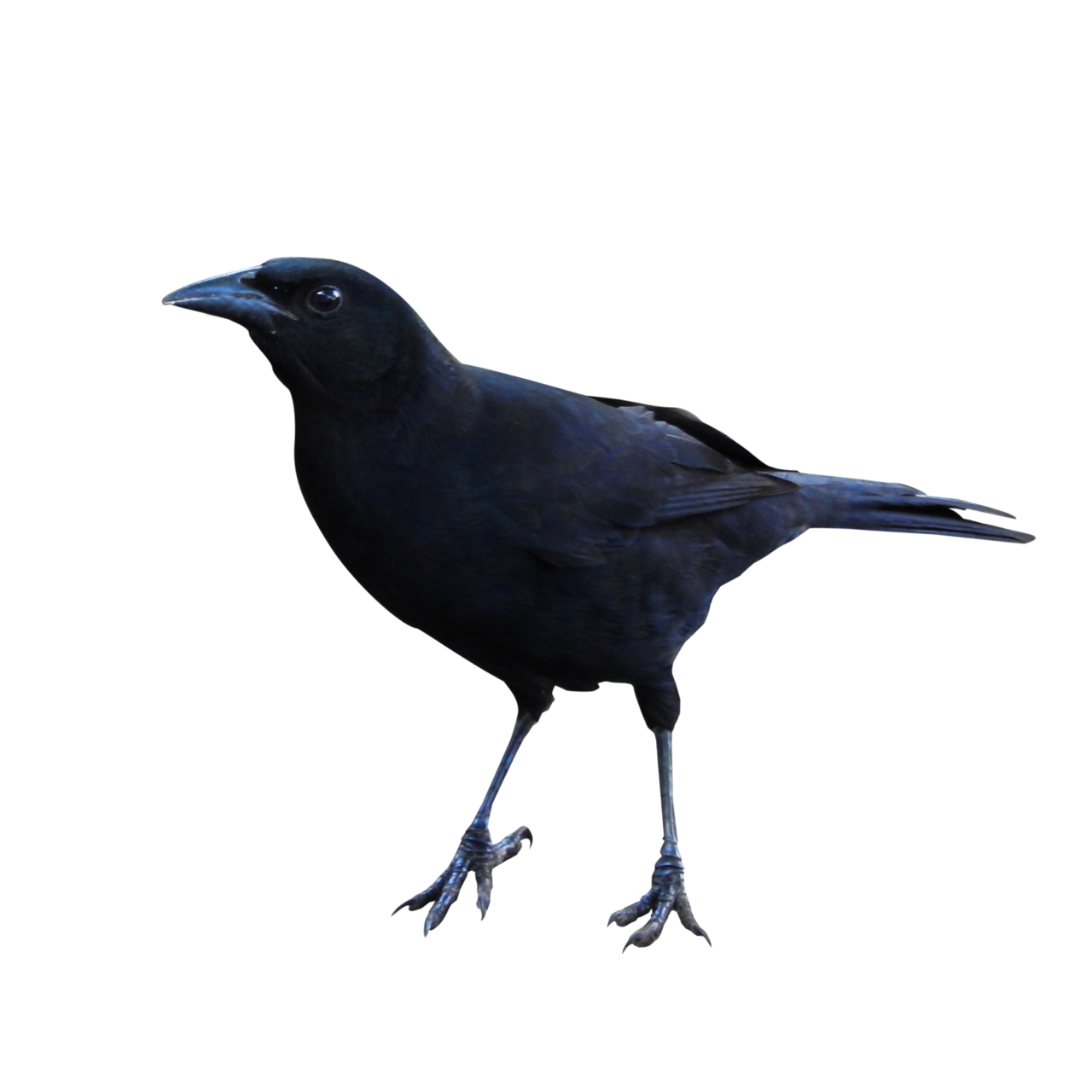 Raven PNG - 4080