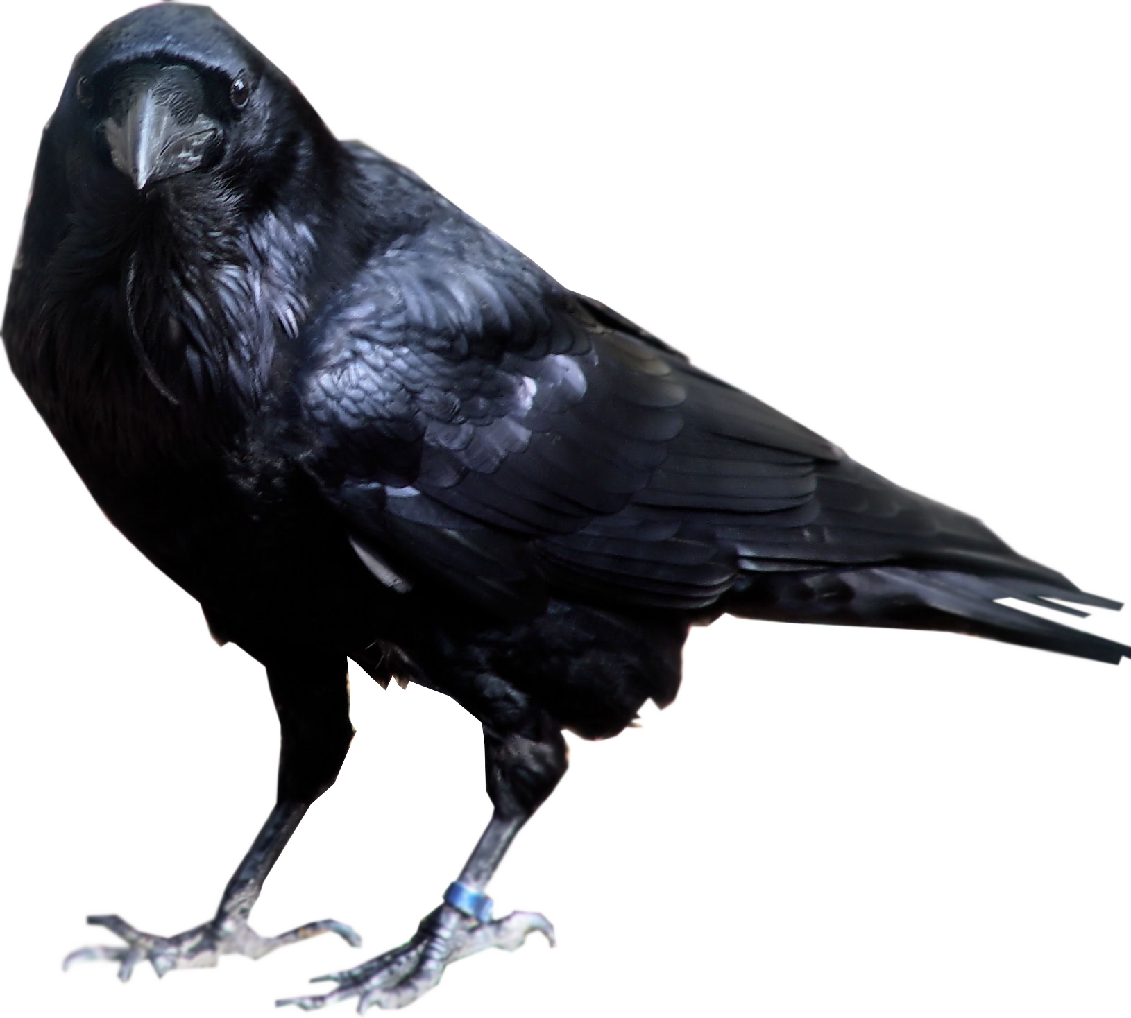Raven PNG - 4072
