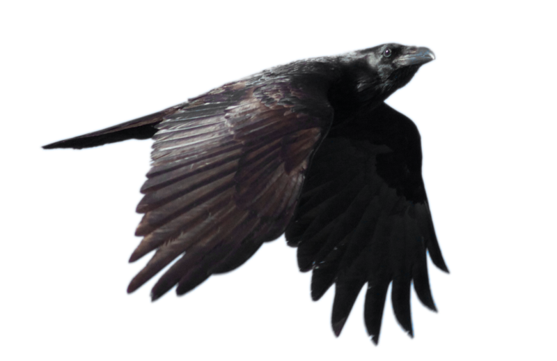 Raven PNG - 4077
