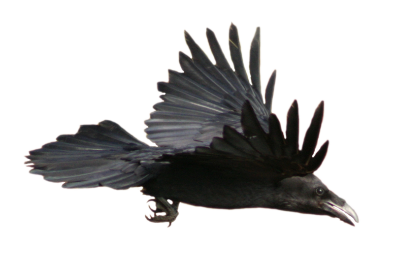 Raven PNG - 4074