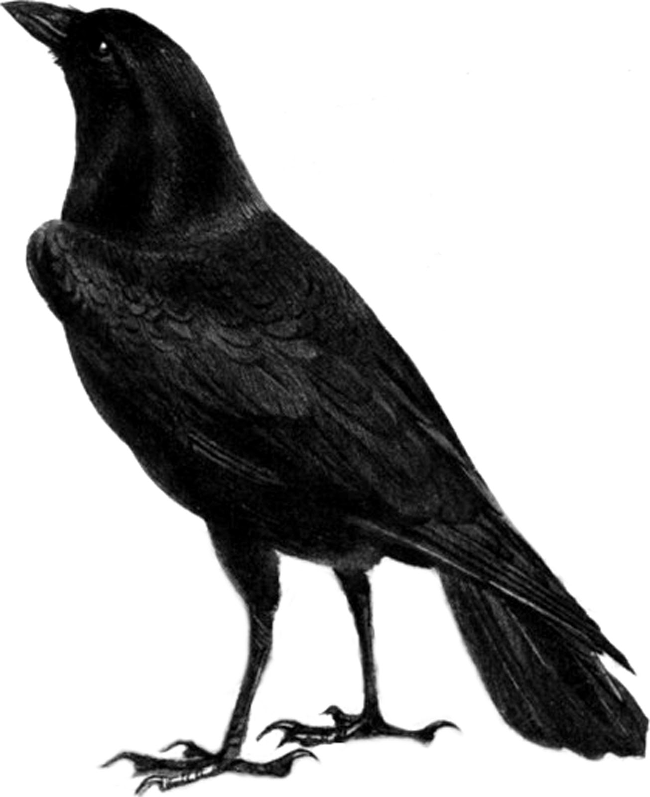 Raven PNG - 4075