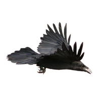 Raven PNG - 21282