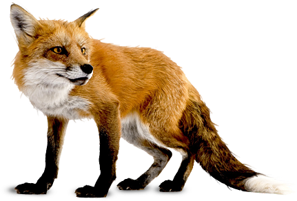 Download PNG image - Fox Png 6 1085 - Real Animal PNG