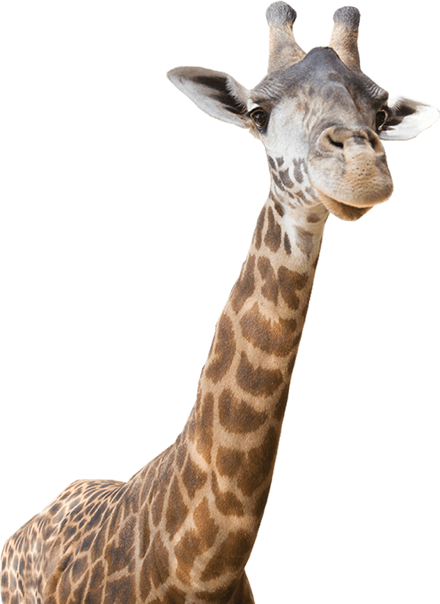 giraffe - Real Animal PNG