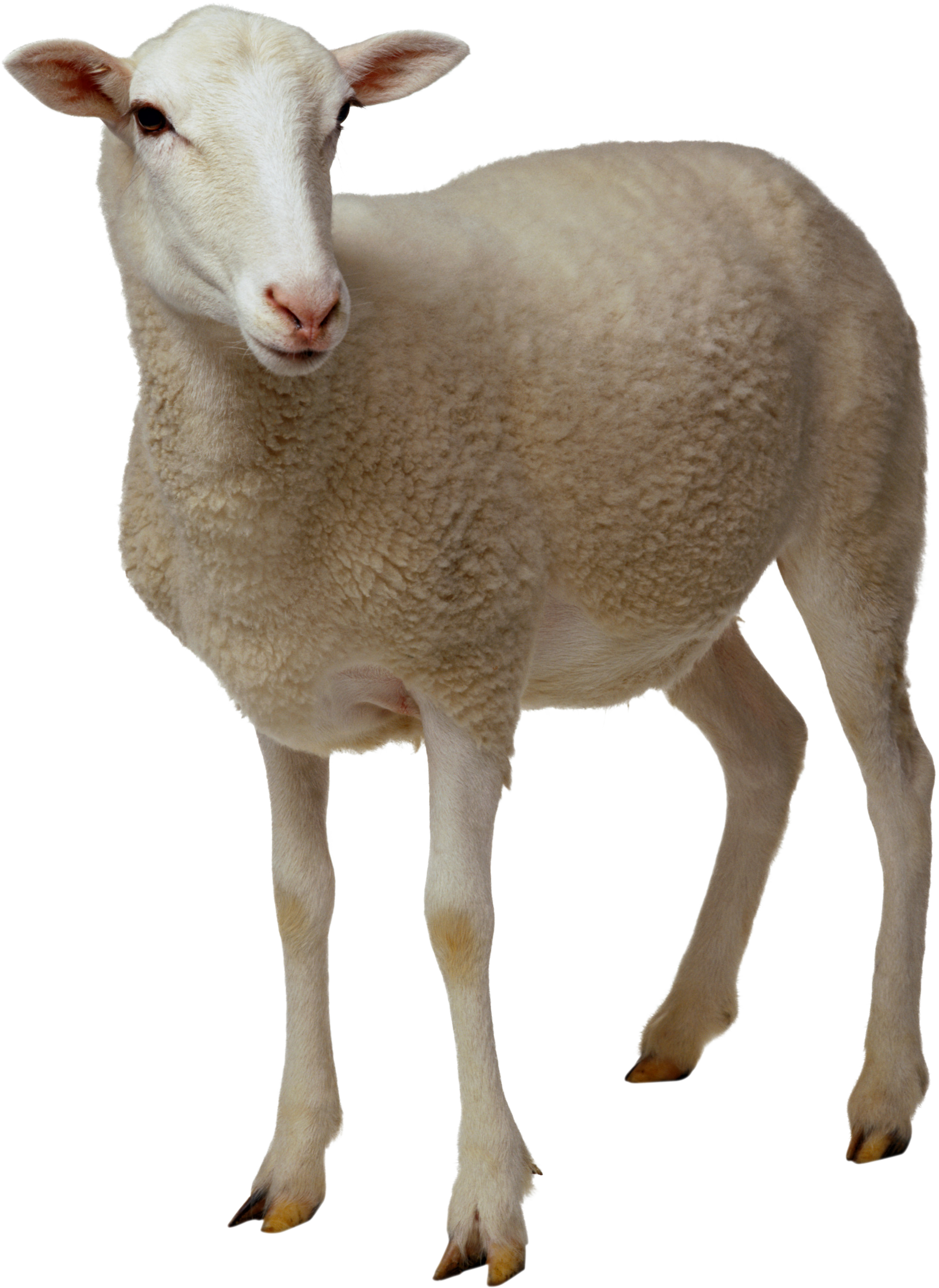sheep PNG image - Real Animal PNG