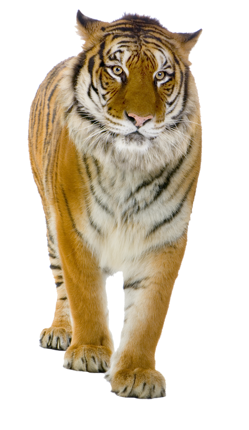 . PlusPng.com Tiger PNG by LG-Design - Real Animal PNG
