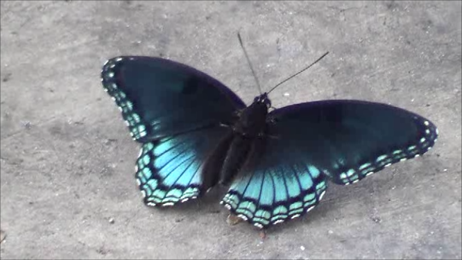 File:Blue black butterfly.png - Red And Black Butterfly PNG