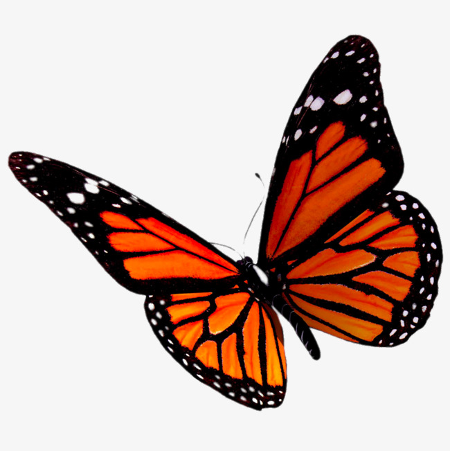 orange butterfly, Black Spots, Specimen, Creative PNG Image and Clipart - Red And Black Butterfly PNG