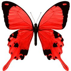 red butterfly images - Yahoo Search Results - Red And Black Butterfly PNG