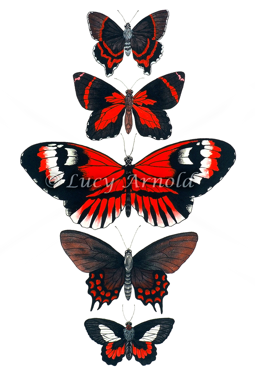 Red, White, Black - Red And Black Butterfly PNG