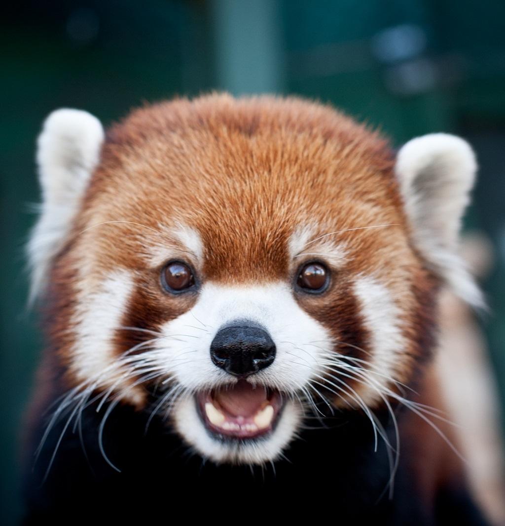 Red Panda PNG - 9388