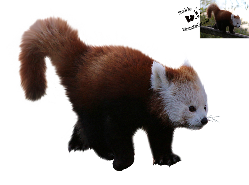 Cut-out stock PNG 96 - walking red panda by Momotte2stocks on DeviantArt - Red Panda PNG