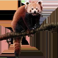 Red Panda PNG - 9381