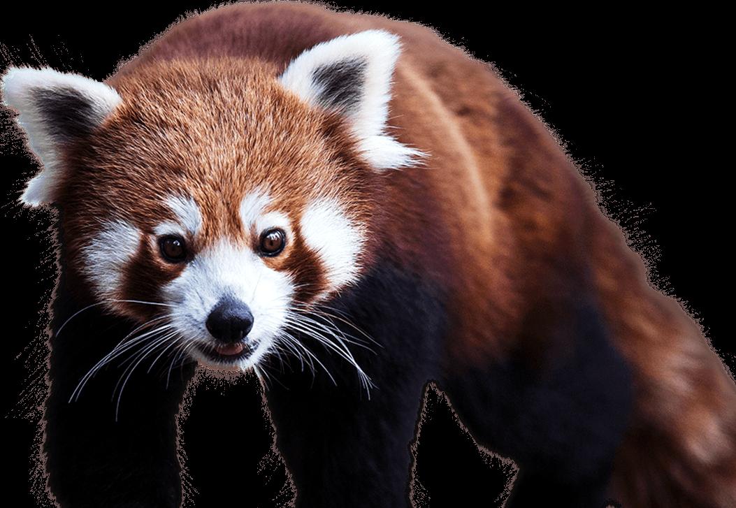 Red Panda PNG - 9382