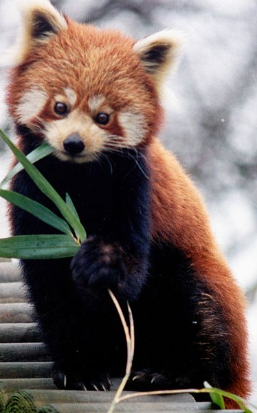 Red Panda PNG - 9394