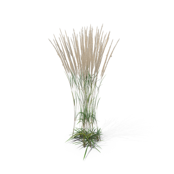 Feather Reed Grass - Reeds PNG