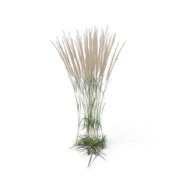 Reeds PNG - 75520