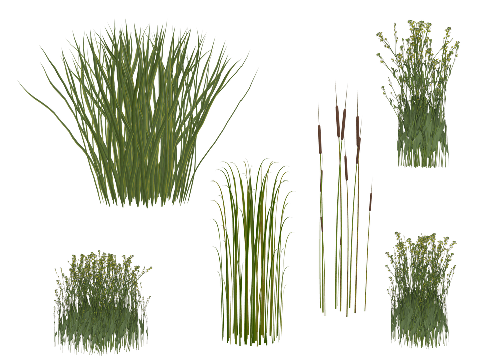 Grass, Reed, Isolated, Green, Grasses - Reeds PNG