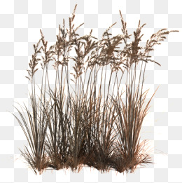 Reeds PNG - 75515