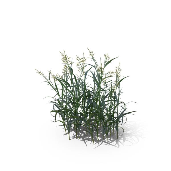 Reed Canary Grass (Phalaris Arundinacea) - Reeds PNG