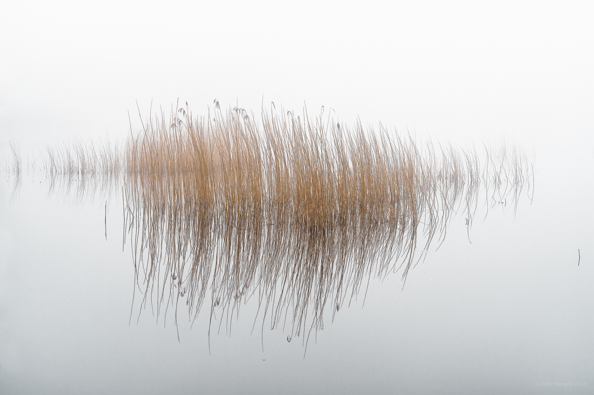 Reeds_in_the_Mist - Reeds PNG