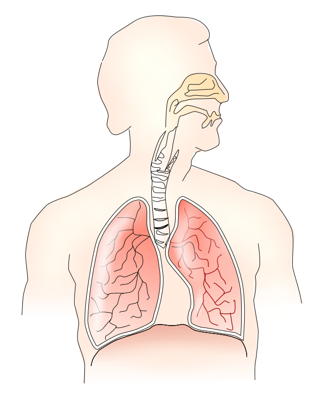 Respiratory System PNG HD