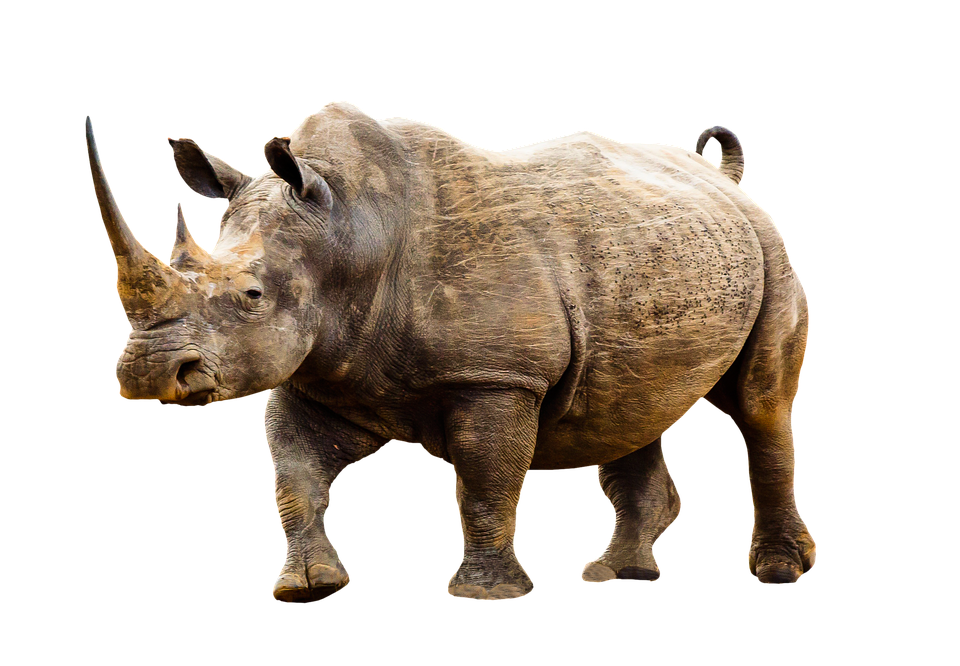 Animal, Wild Animal, Rhino, Africa, Animal World, Horn - Rhino HD PNG