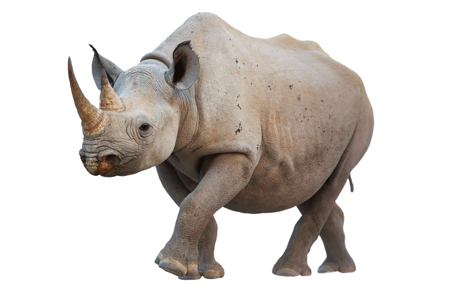 African species - Rhinoceros PNG
