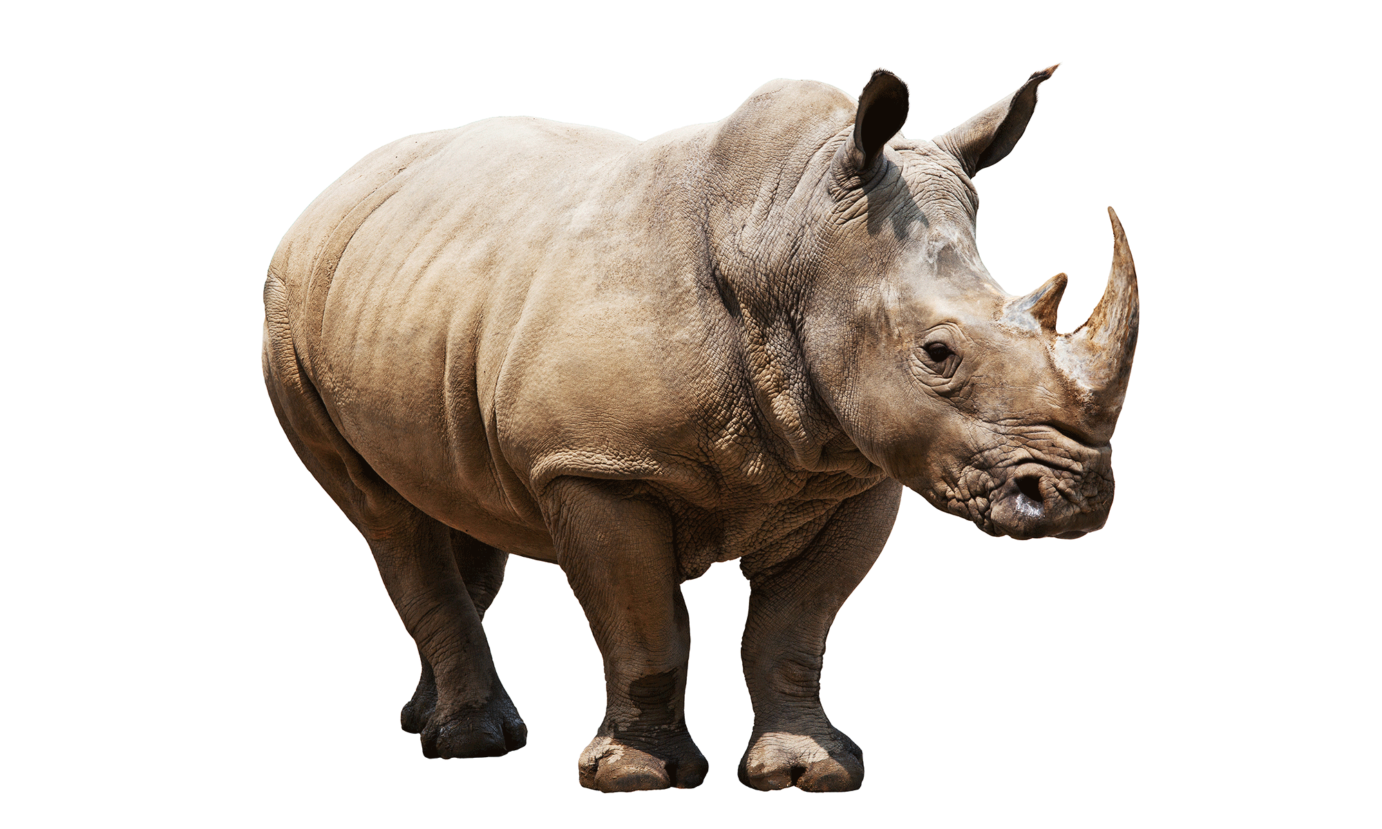 isolated_rhinos_white.png (PNG Image, 2000 × 1200 pixels) - Scaled (56 - Rhinoceros PNG