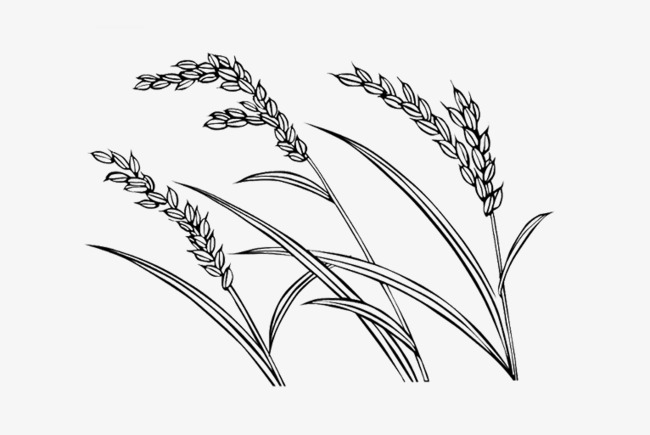 rice pictures, Paddy Picture Painted, Creative Image Rice, Millet Photos PNG  Image and - Rice Paddy PNG Black And White