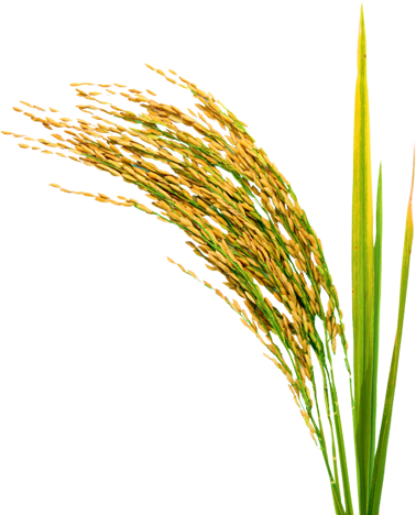 Rice PNG - 27035