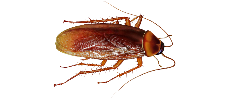 Cockroach PNG File - Roach HD PNG