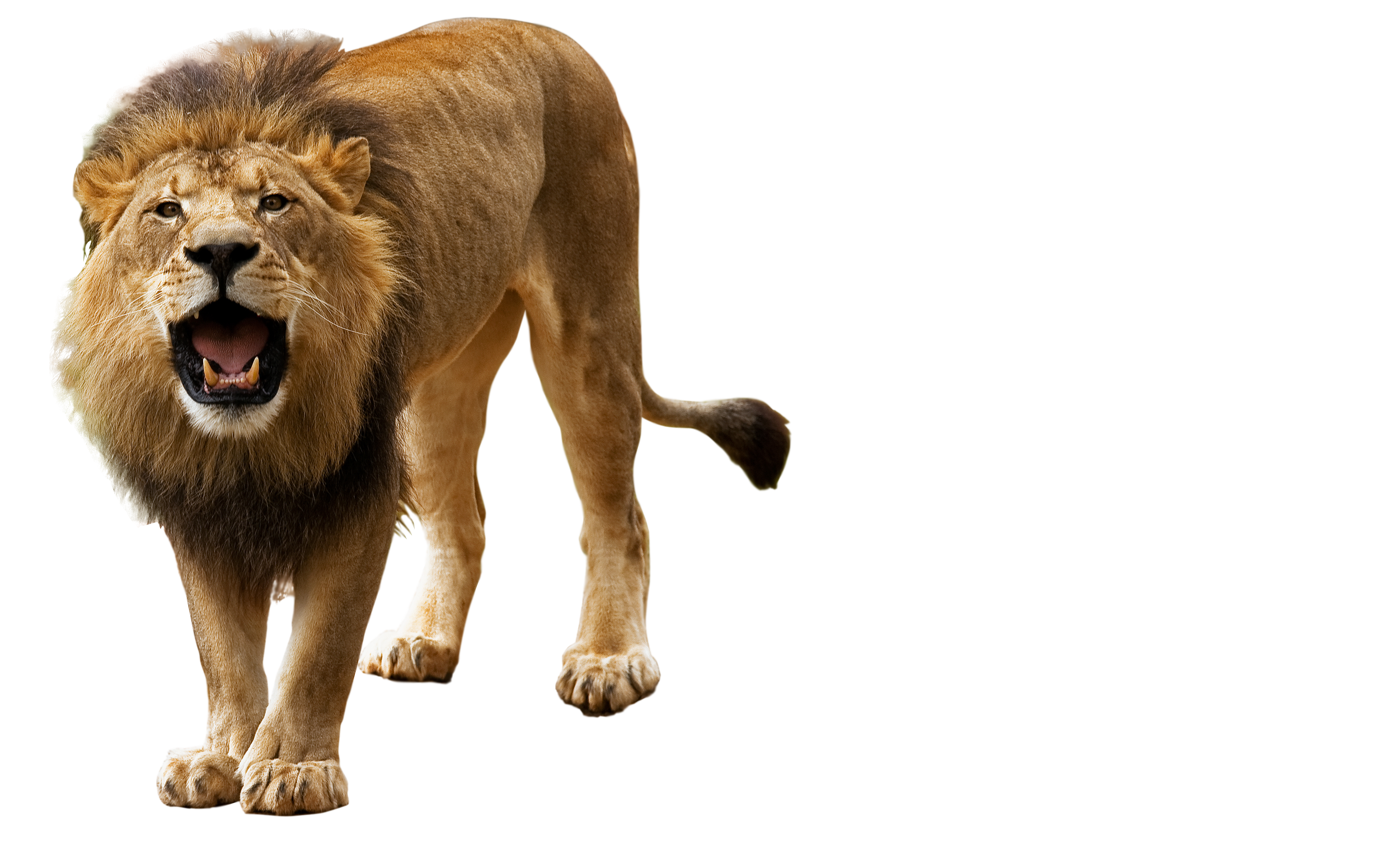 Free Icons Png:Roar, Angry Lion Png