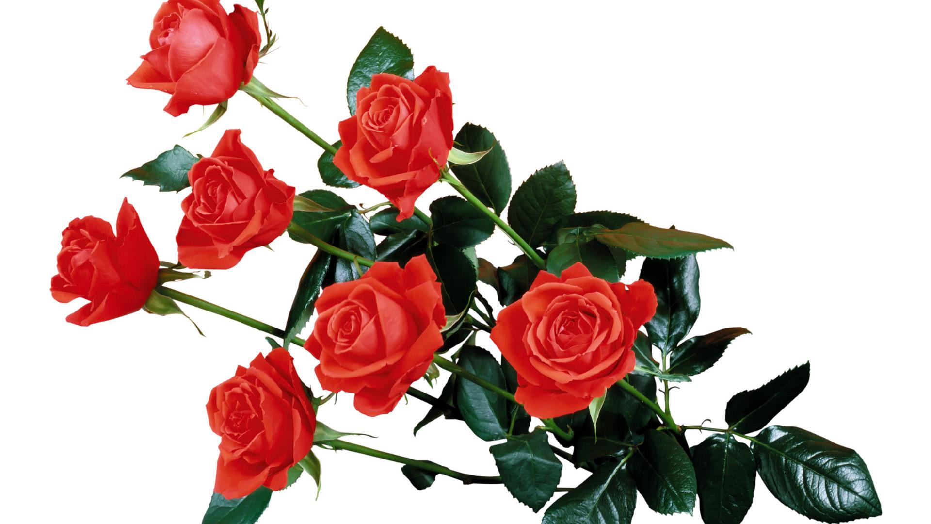 Rose HD PNG - 94825