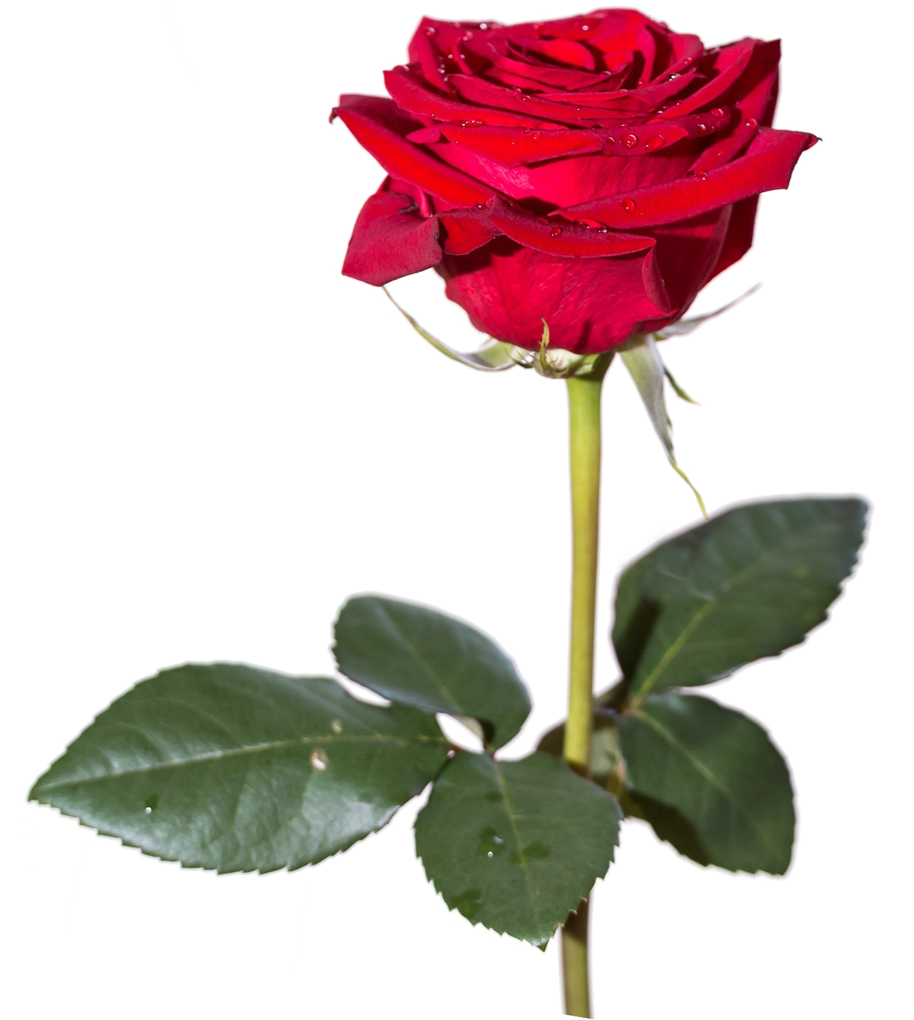 Red Rose PNG HD - Rose HD PNG