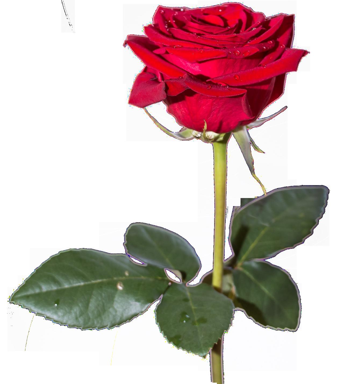 Rose HD PNG - 94816