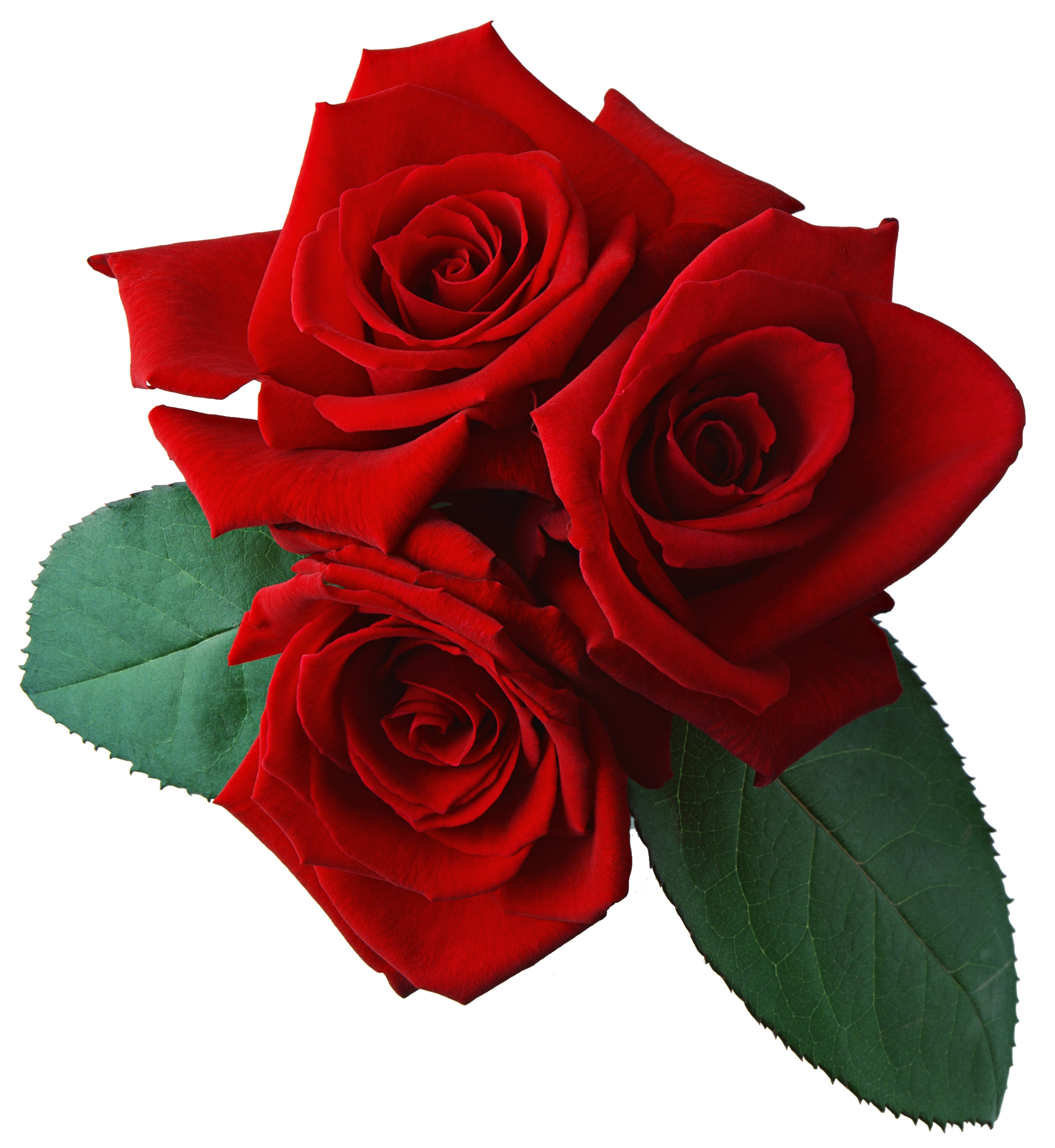 Red Rose Transparent Background - Rose HD PNG