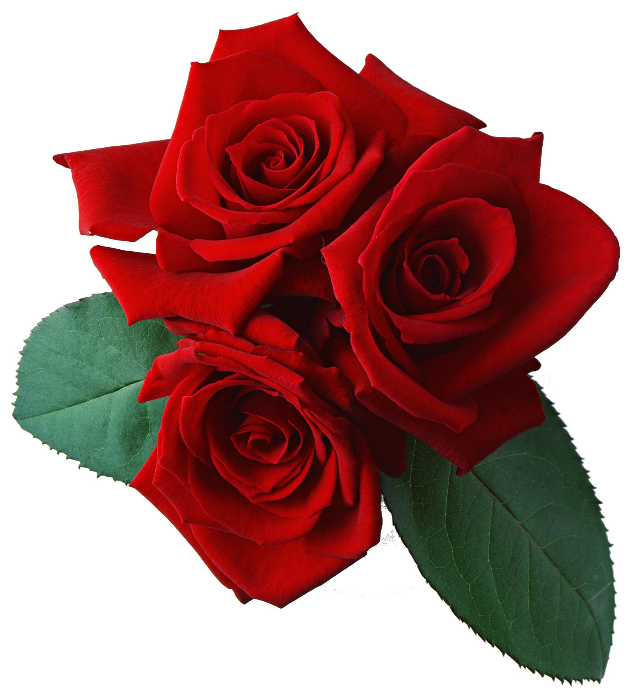 Rose HD PNG - 94821