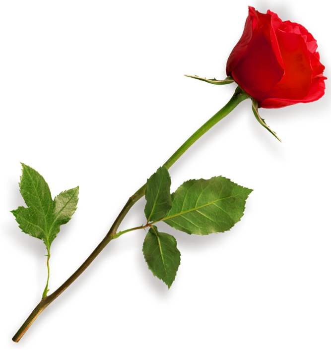 Single Red Rose PNG HD