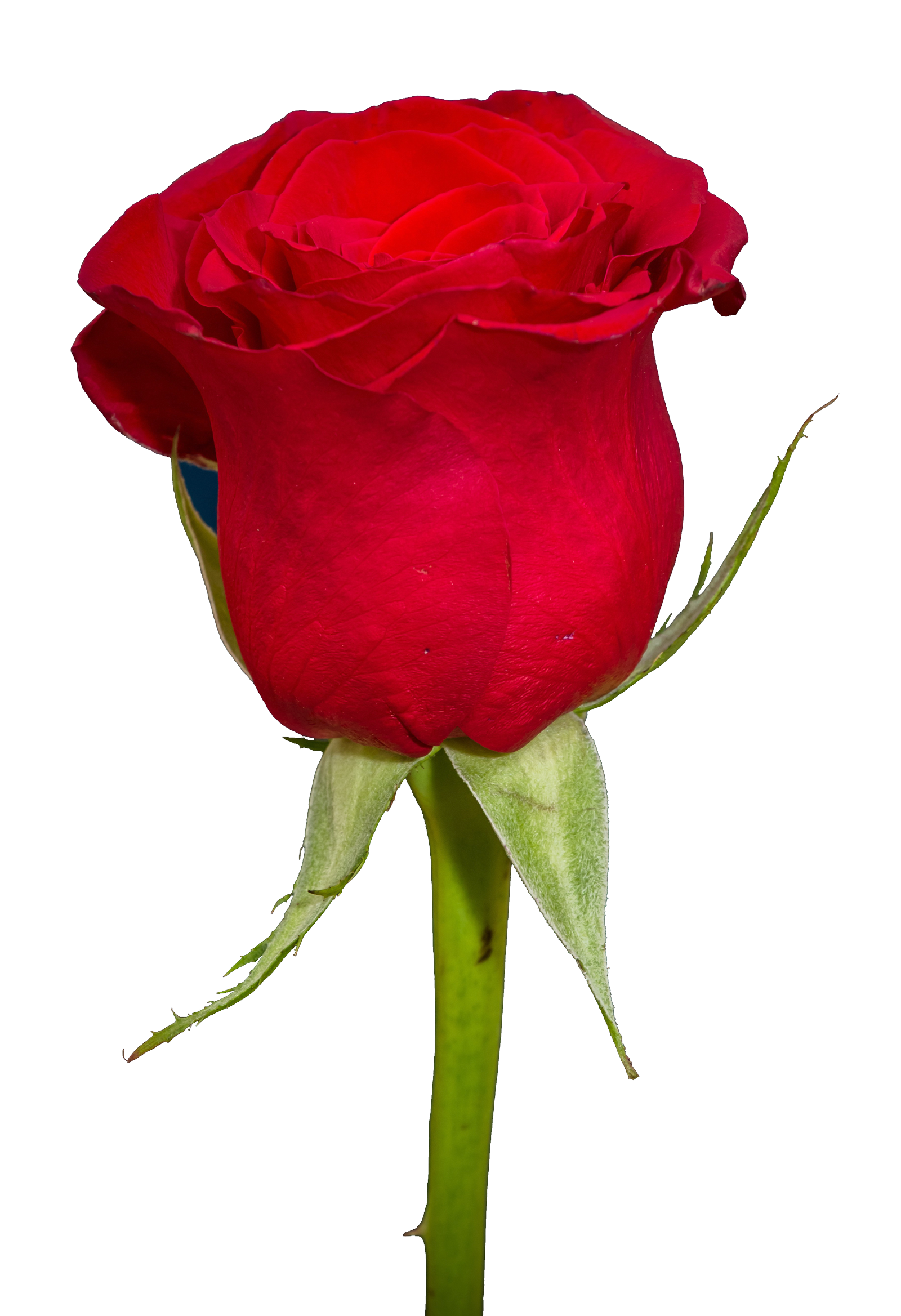Rose PNG Transparent Image - Rose HD PNG