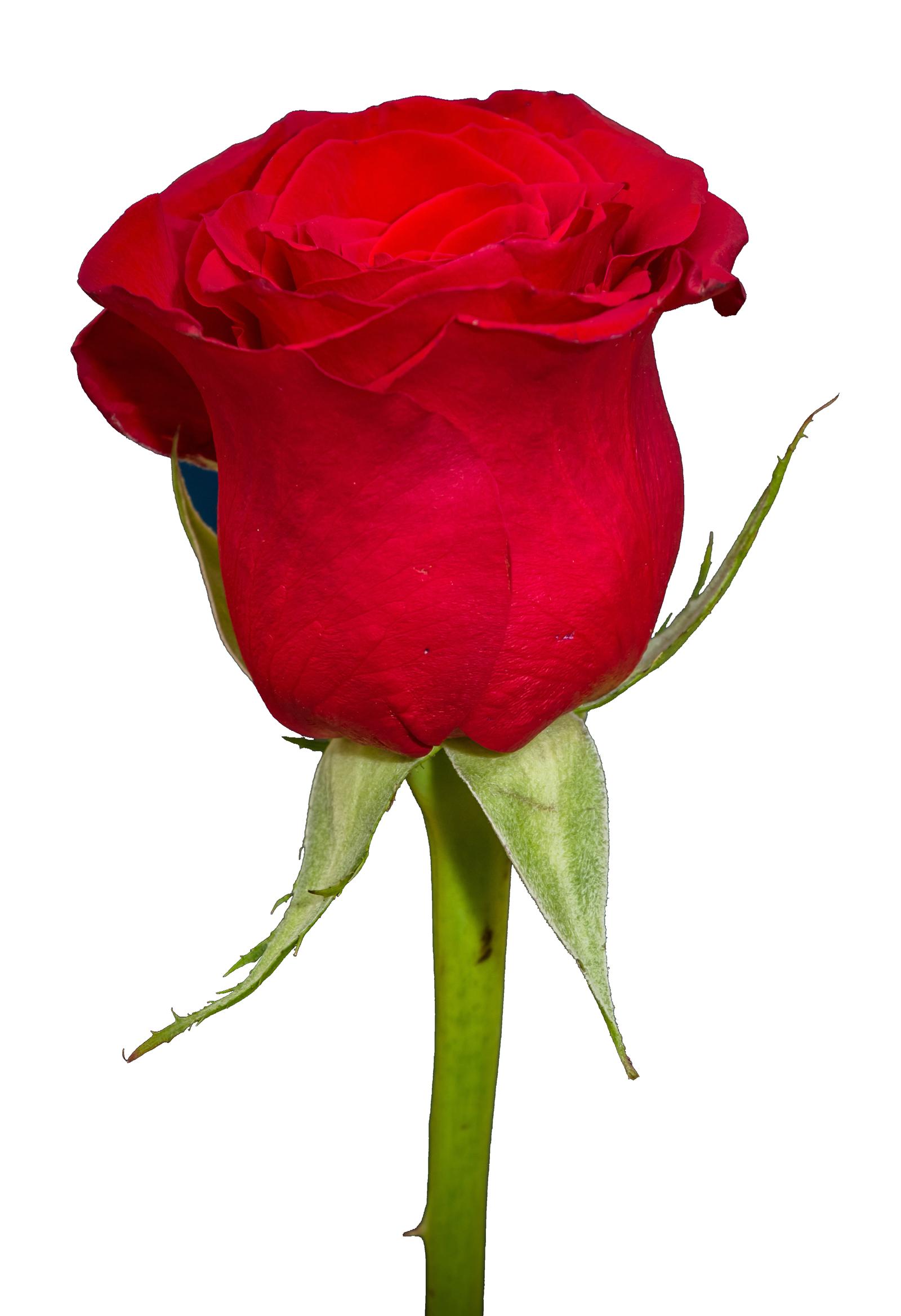 Rose HD PNG - 94820